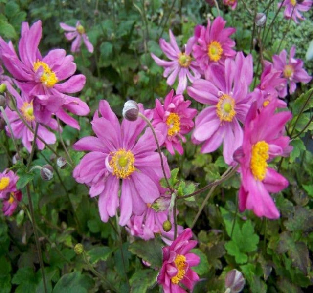 1 x Anemone 'Pamina' - 9cm Pot - PRE-ORDER NOW FOR SPRING DELIVERY