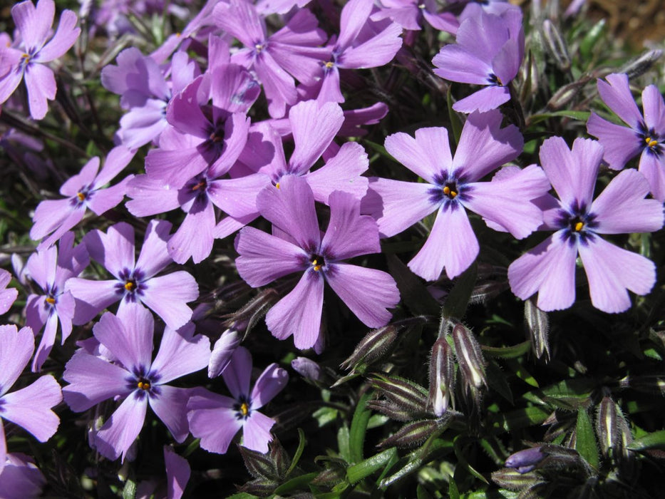 1 x PHLOX subulata Purple Beauty - 9cm Pot - PRE-ORDER NOW FOR SPRING DELIVERY