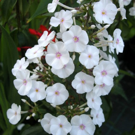 1 x Phlox m. 'Omega'- 9cm Pot - PRE-ORDER NOW FOR SPRING DELIVERY