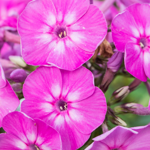 1 x PHLOX paniculata Famous Light Purple - 9cm Pot