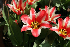 1 x TULIP Pinocchio - potted bulb