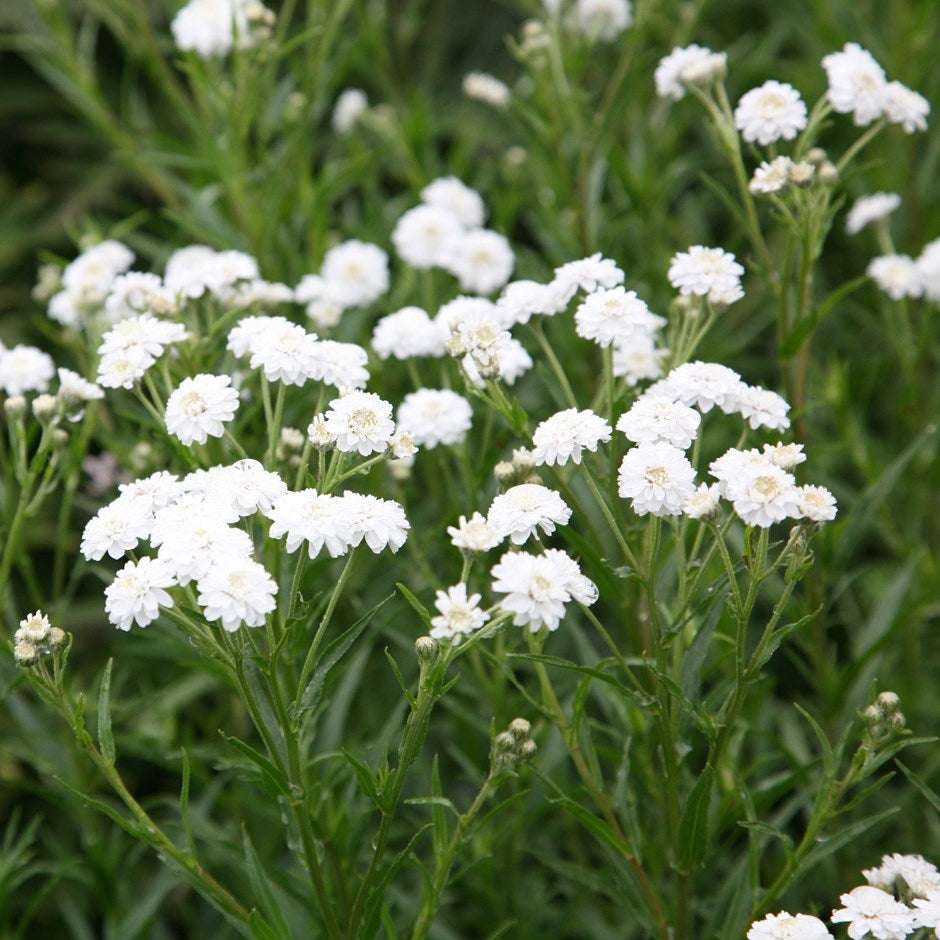 3 x Achillea ptarmica The Pearl - 1 Litre Pot