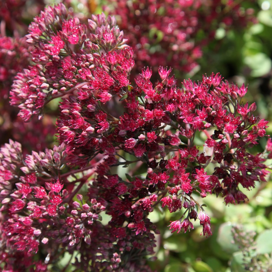 1 x Sedum 'Ruby Glow' - 9cm Pot - PRE-ORDER NOW FOR SPRING DELIVERY