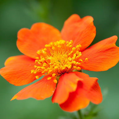 1 x Geum Borisii - 9cm Pot - PRE-ORDER NOW FOR SPRING DELIVERY