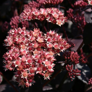 1 x SEDUM Purple Emperor - 9cm Pot