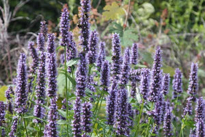 1 x Agastache Black Adder - 9cm Pot