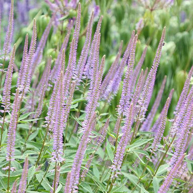 1 x VERONICASTRUM virginicum Fascination - 9cm Pot - PRE-ORDER NOW FOR SPRING DELIVERY