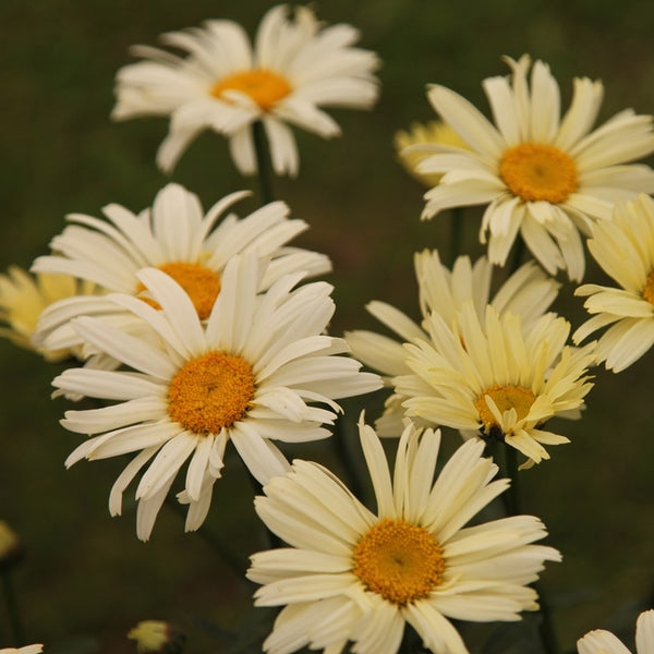 1 x LEUCANTHEMUM maximum Banana Cream - 9cm Pot