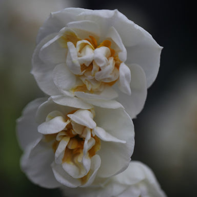 NARCISSUS Bridal Crown 12/14cm - x 7 Bulbs
