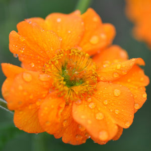 1 x Geum 'Prinses Juliana' - 9cm Pot