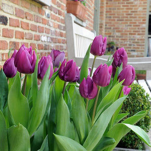 1 X TULIP Purple Prince - potted bulb