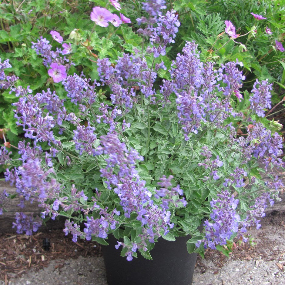 1 x NEPETA Junior Walker - 9cm Pot