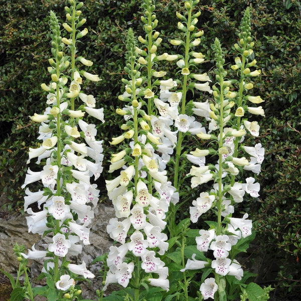 1 x DIGITALIS purpurea Dalmation White - 9cm Pot