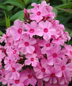 1 x PHLOX paniculata Sweet Summer Rose - 9cm Pot - PRE-ORDER NOW FOR SPRING DELIVERY