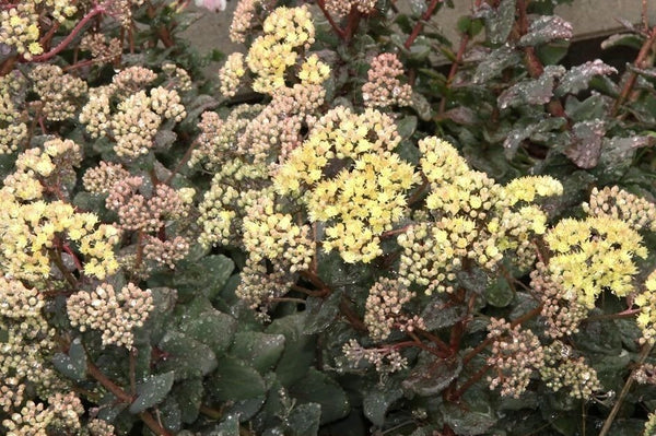 1 x SEDUM telephium Seduction Green-Yellow - 9cm Pot
