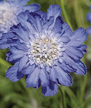 1 x  Scabiosa fama Deep Blue - 9cm Pot - PRE-ORDER NOW FOR SPRING DELIVERY