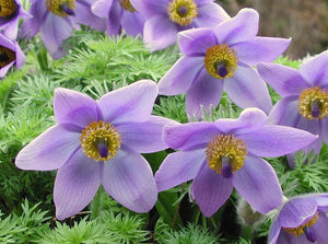 1 x PULSATILLA vulgaris Purple - 9cm Pot