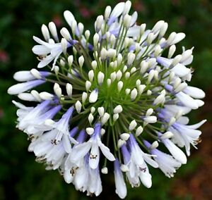 1 x Agapanthus Queen mum - 9cm Pot