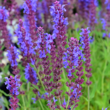 1 x Salvia xs. 'Blauhugel' - 9cm Pot