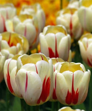 1 x TULIP World Expression - potted bulb