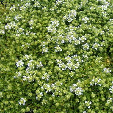 Thyme Serphy...