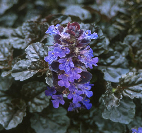 1 x AJUGA reptans black scallop - 9cm Pot