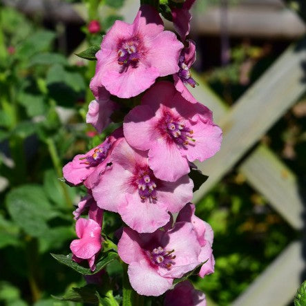 1 x Verbascum 'Pink Domino'- 9cm Pot - PRE-ORDER NOW FOR SPRING DELIVERY