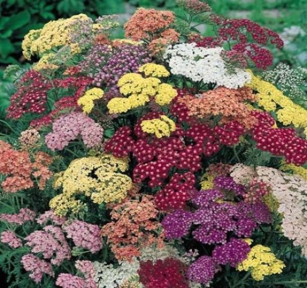 1 x ACHILLEA Summer Pastels - 9cm Pot - PRE-ORDER NOW FOR SPRING DELIVERY