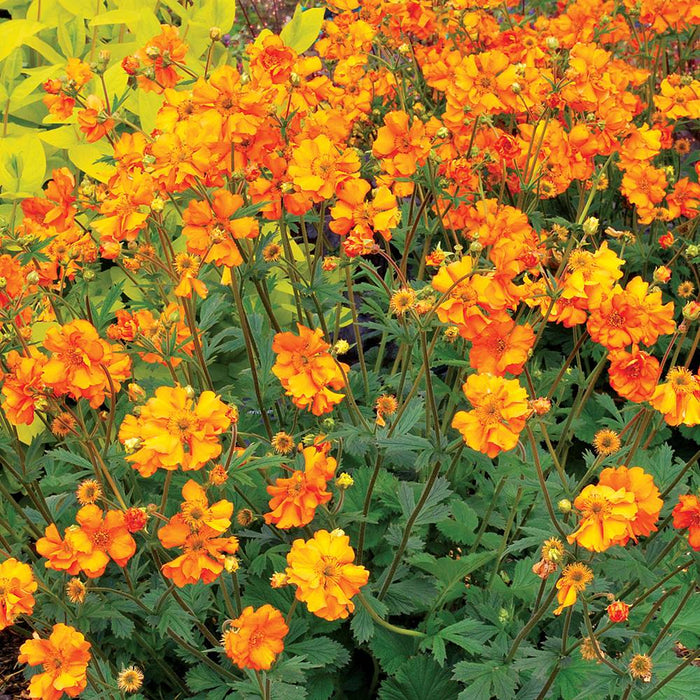 1 x Geum 'Fireball' - 9cm Pot - PRE-ORDER NOW FOR SPRING DELIVERY