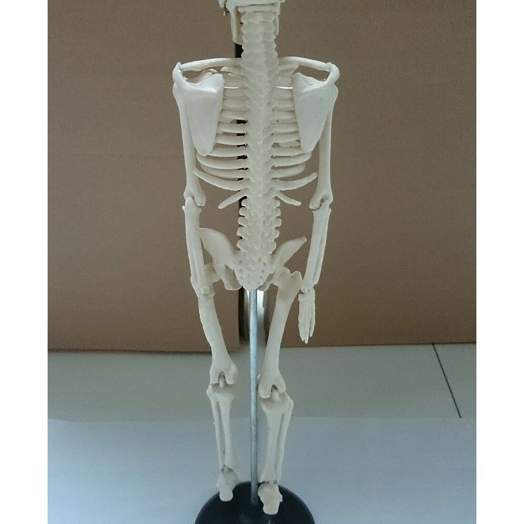 85cm Human Skeleton Model Great Teaching Aid Lifelike Bone Color