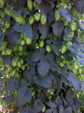 Hops Azacca 1oz Pellet - Beyond The Grape On-Premise Winemaking & Home Brewing Supplies