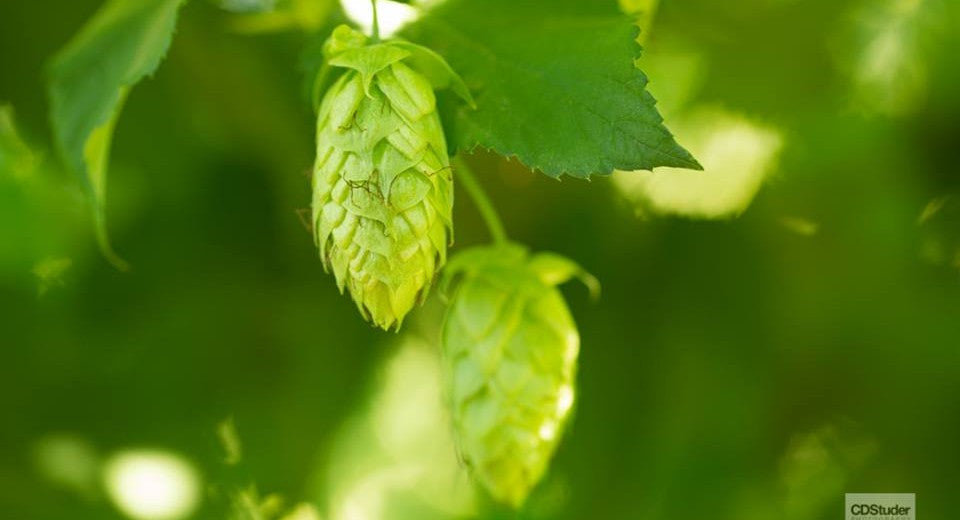 Hops Belma 2oz Pellet - Beyond The Grape On-Premise Winemaking & Home Brewing Supplies