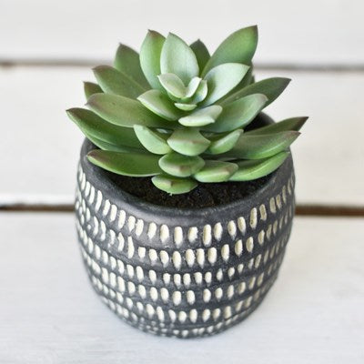 Succulent in Black Cement Pot