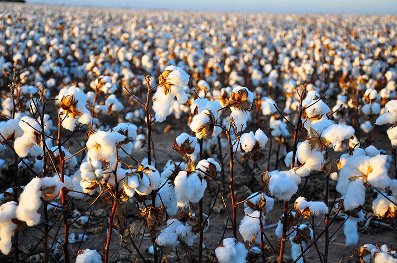 organic cotton field - the true cost of fashion