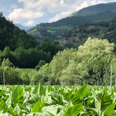 tobacco_ingredient_andorra_travel_gunillaskinalchemy