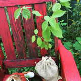 1-0 bare root nanking cherry seedling doing very well in it's burlap bag.