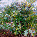 Selected Seedling Hybrid Hazelnuts (Corylus spp. hybrids); Zone 3, 25 Bare Root Seedlings