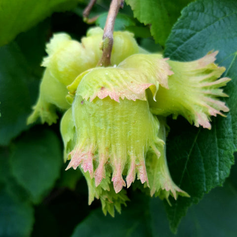 Selected Seedling Hybrid Hazelnuts (Corylus spp. hybrids); Zone 4, 25 Bare Root Seedlings