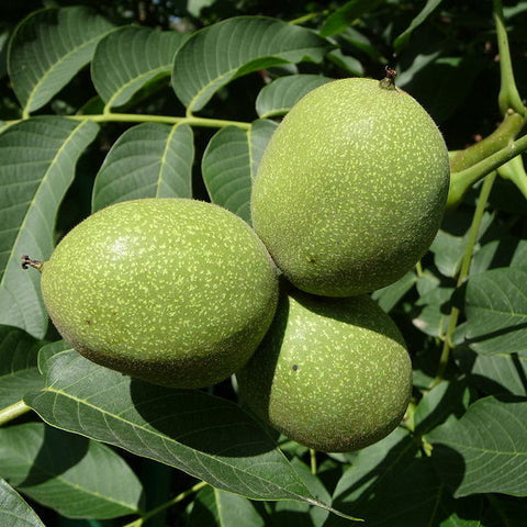 English Walnut; Russian Walnut (Juglans regia); 25 bare root seedlings