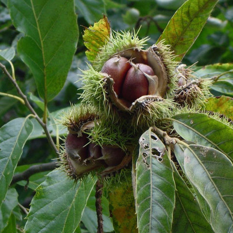 American Chestnut (Castanea dentata);  25 bare root seedlings