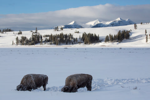 Exploring Yellowstone National Park In Winter