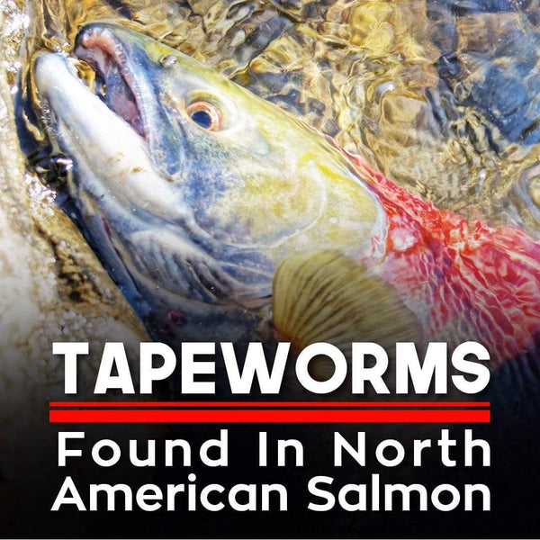 Tapeworms Found In North American Salmon