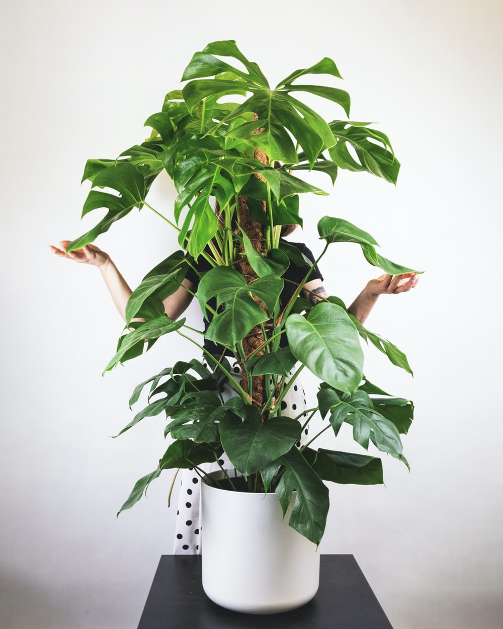 plant - monstera - XL