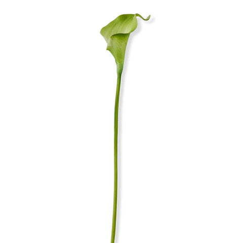 Light Green Calla Lily