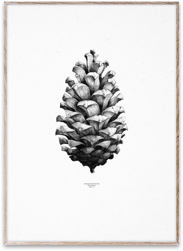 Poster Nature 1:1 Pine Cone - Black/White - 50 x 70 cm