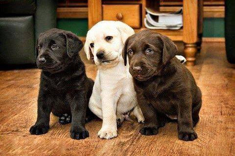 Labrador Retrievers - Fun Facts and Crate Size