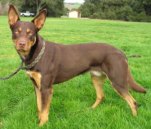 Australian Kelpie - Fun Facts and Crate Size