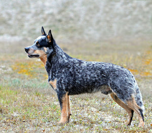 Australian Stumpy Tail Cattle Dog - Fun Facts and Crate Size