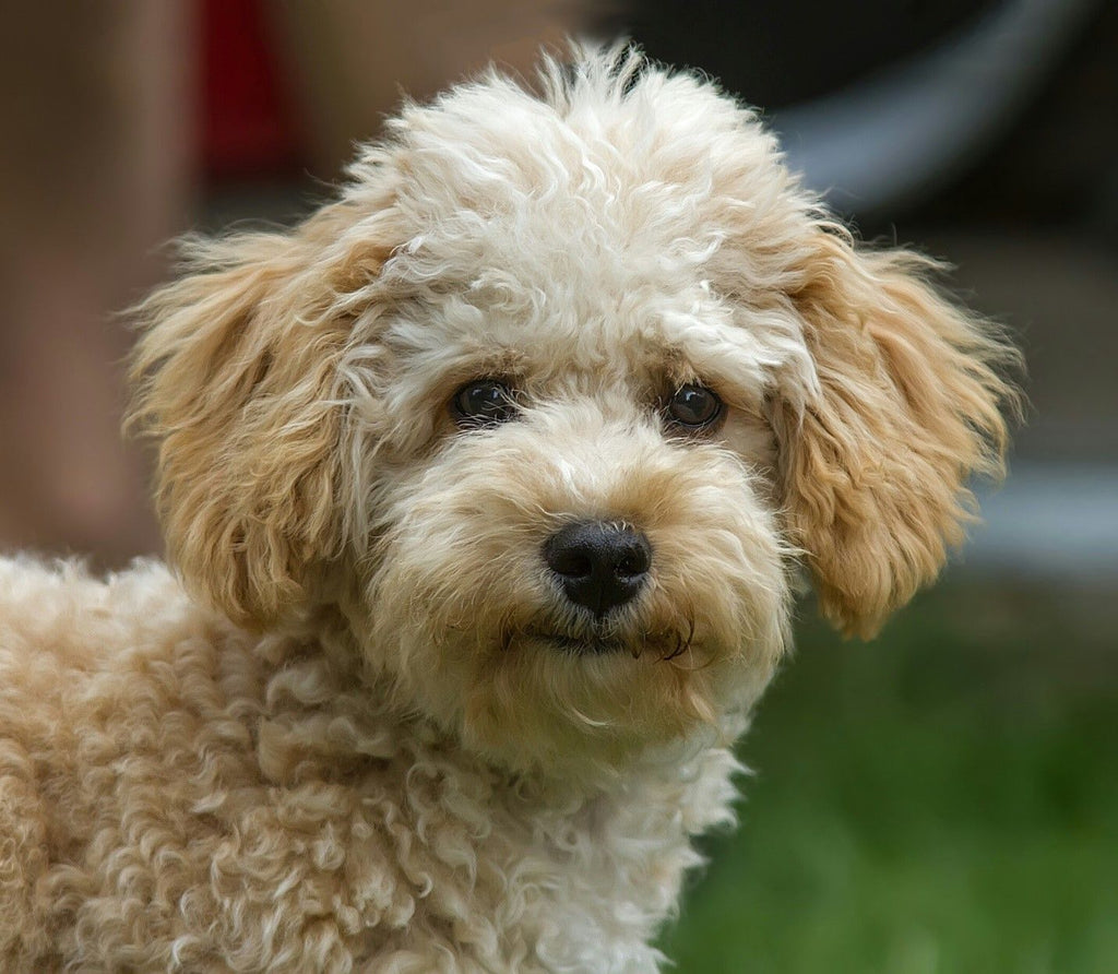 Cavapoo - Fun Facts and Crate Size