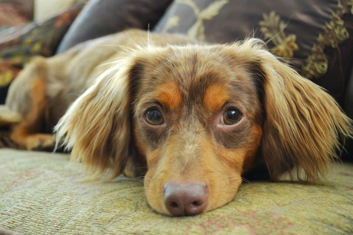 Chiweenie Fun Facts And Crate Size Pet Crates Direct